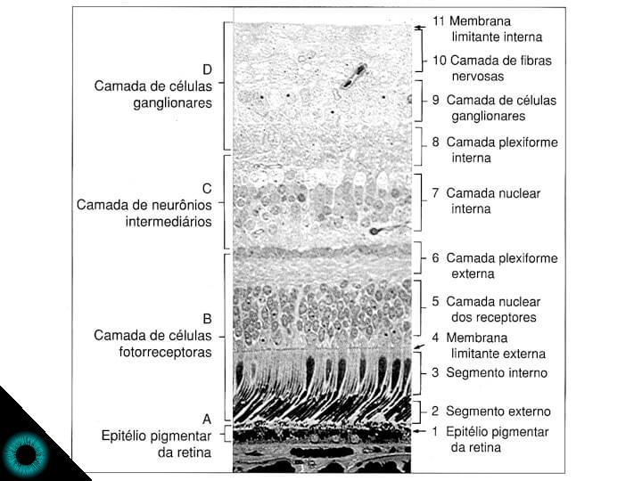 Corte histológico de uma retina humana vista ao microscópio.